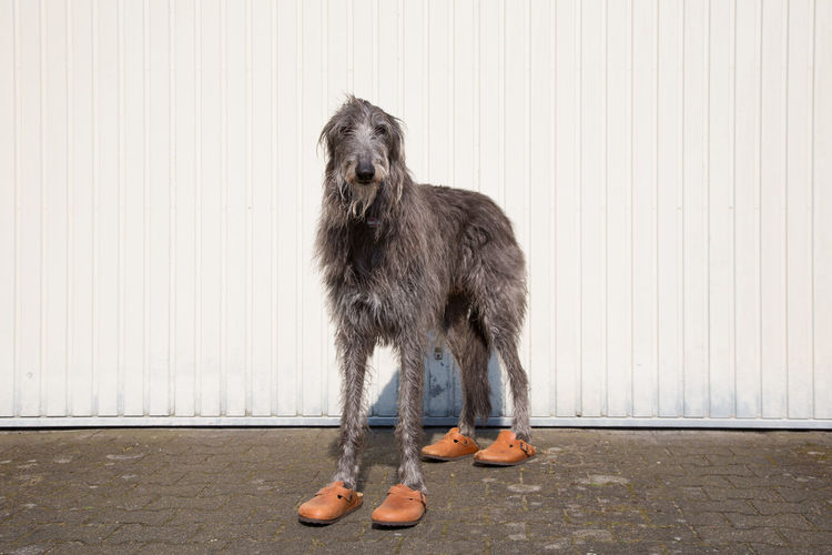 Portrait of scottish deerhound wearing shoes against wall