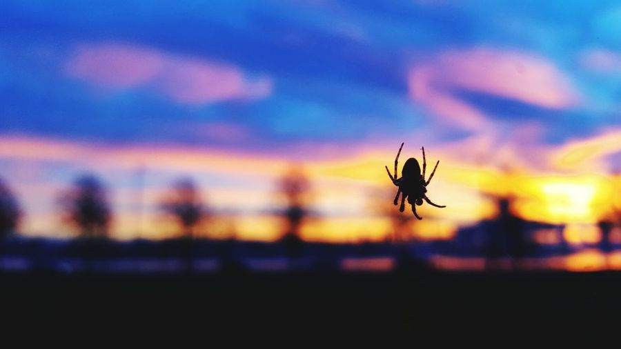 Watching the sun go down Tinyspider Spider Nature Rotterdam Sunset Colorful Sky Sky And Clouds Skyporn Sky_collection Insect Close-up Nature Animal Themes Silhouette No People One Animal Beauty In Nature