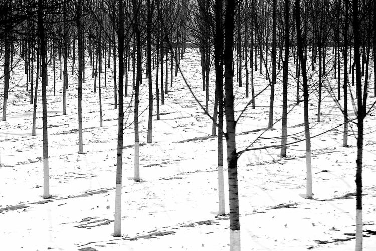 Q Quiet Snow Trees In Winter Trees Trees Silhouettes Alignement Noir Et Blanc Quietly Black And White Winter Lines And Shadows Monochrome The Great Outdoors - 2016 EyeEm Awards Monochrome Photography Shades Of Winter