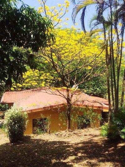 Corteza Amarillo