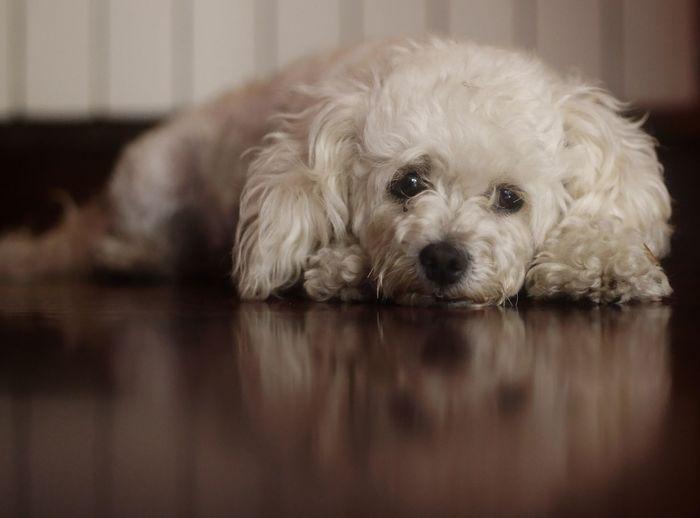 Argi Dog Poodle Poodletoy Caniche Canichetoy Reflection Animal Hair Close-up