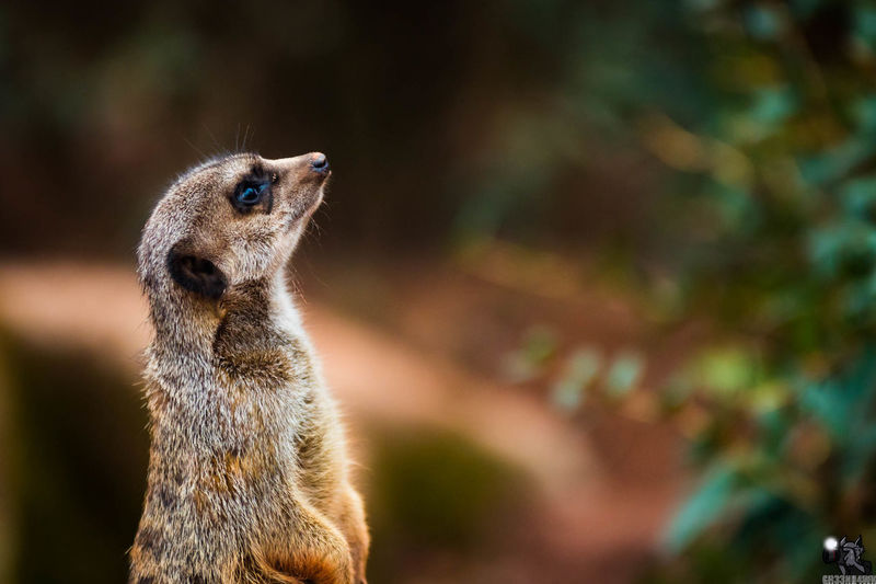 Animal Themes Animal Wildlife Animals In The Wild Close-up Day Focus On Foreground Mammal Meerkat Nature No People One Animal Outdoors