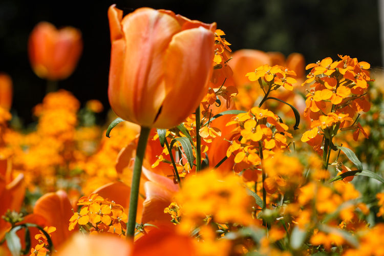 Beauty In Nature Botany Close-up Day Flower Flower Head Flowerbed Flowering Plant Fragility Freshness Growth Inflorescence Nature No People Orange Color Outdoors Petal Plant Selective Focus Springtime Vulnerability  Yellow