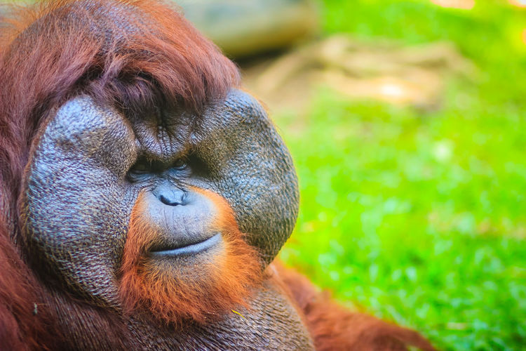Close up to face of dominant male, Bornean orangutan (Pongo pygmaeus) with the signature developed cheek pads that arise in response to a testosterone surge. Bornean Gibbon Borneanorangutan Pongo Animal Animal Body Part Animal Head  Animal Themes Animal Wildlife Animals In The Wild Ape Bornean Bornean Orang Utan Bornean Orangutan Brown Close-up Day Dominant Male Focus On Foreground Looking Away Mammal Monkey Nature No People One Animal Orangutan Outdoors Pongo Pygmaeus Primate Vertebrate Zoo