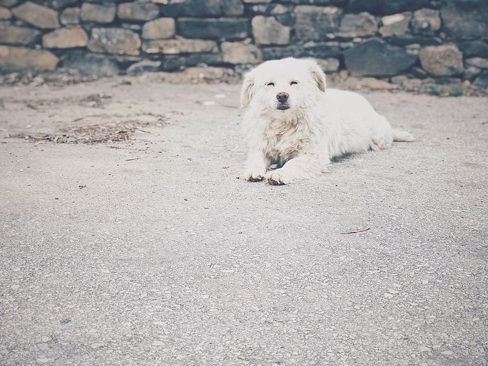 Pets Of Eyeem Animal Themes Pets Tranquil Scene Relaxing Moments Relaxed Relaxing Cute Dog  White Dog Dog Life Laying Down Street White Dog Animal Themes Animals Pets One Animal Mammal Dog Canine Domestic Pets Domestic Animals Vertebrate Nature Land No People Day White Color Portrait