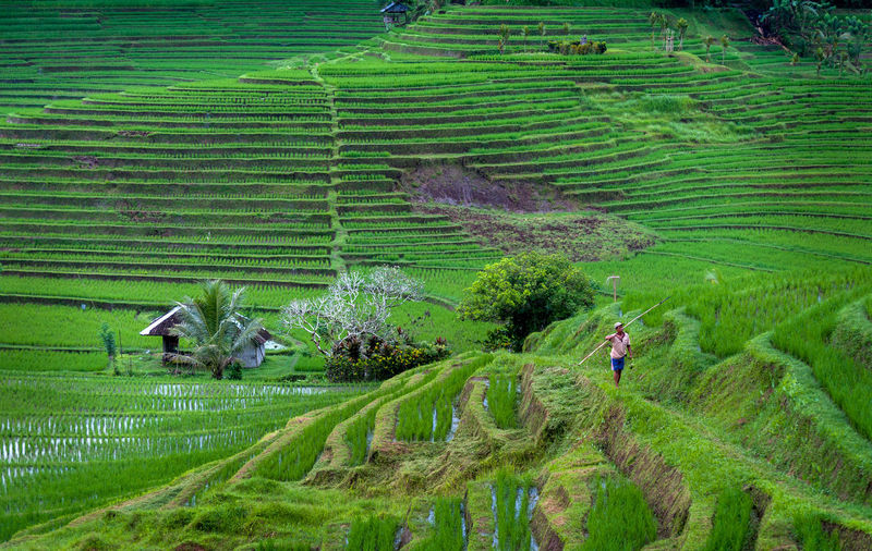Bali Rice Terraces. Some of the most beautiful rice terraces in all of Bali can be found in the village of Belimbing. Here, a worker finishes his day with a steep walk up the bowl. Agriculture ASIA Asian  Asian Culture Beauty In Nature Crop  Farm Farming Field Green Green Color Growth INDONESIA Indonesia_photography Landscape Nature Paddy Field Rice Rice Field Rice Paddy Rice Terraces Ricefield Rural Scene Terraced Field Terraces