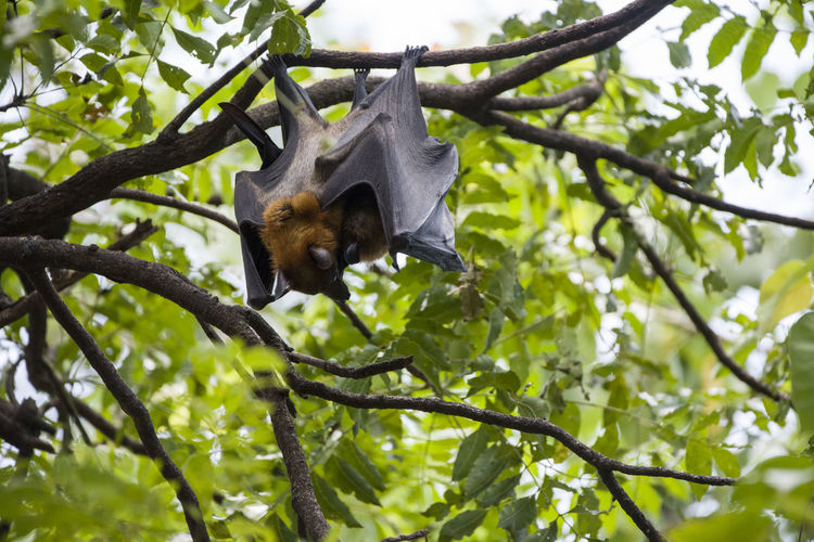 Foxbats in Thailand BIG Bat Giant Hanging Tree Animal Themes Animal Wildlife Animals Animals In The Wild Bat - Animal Branch Day Fox Fox Bat Foxbat Fruit Full Length Hanging Leaf Low Angle View Mammal Nature No People One Animal Outdoors