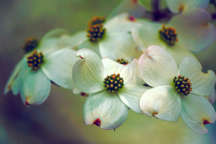 Beauty In Nature Close-up Day Dogwood Dogwood Blossom Dogwood Tree Dogwoodflowers Flower Flower Head Fragility Freshness Growth My Yard  Nature No People Outdoors Petal Plant Springtime Springtime Flowers