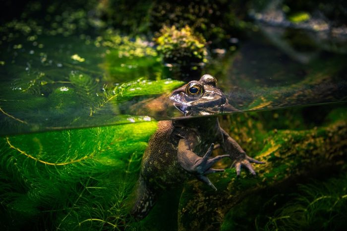 Aquarium Life Frog Perspective Bullfrog Aquariumofthepacific Canada BC Vancouver BC Traveling Photography