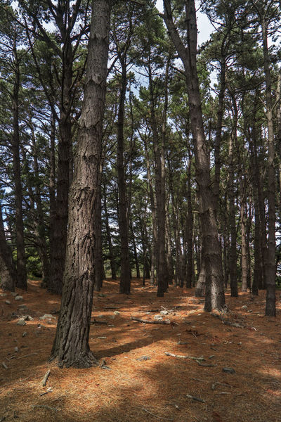 Pine forest Pine Pine Forest Beauty In Nature Forest Nature No People Outdoors Pine Wood Scenics Tranquil Scene Tranquility Tree