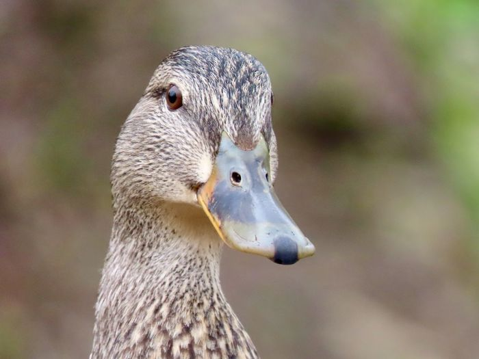 EyeEm selects duck headshot female mallard closeup focus on the foreground birds of EyeEm animal themes beauty in nature outdoors EyeEm Selects Animal Wildlife One Animal Water Bird No People