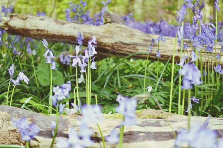 Nature is beauty Bluebell Bokah Nature Photgraphy