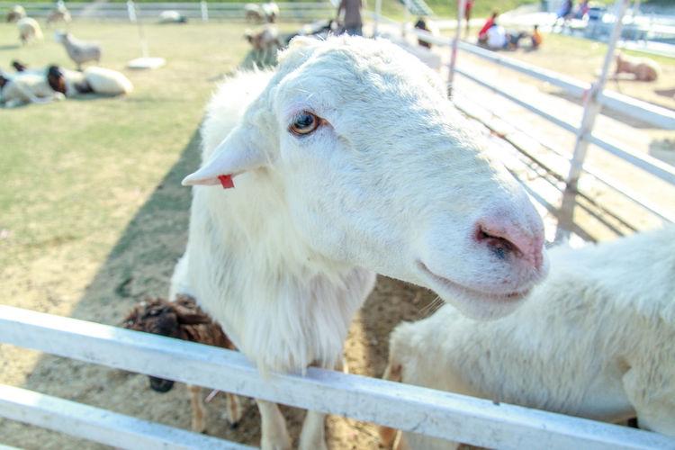 Sheep Farm. Feeding Animals Thailand Aniamls Animal Eye Attraction Cute Sheep Sheep Farm Sheep🐑