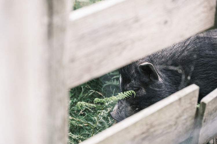 Black pig eating behind a fence