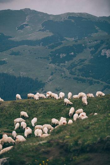 Flock of sheep grazing on mountain