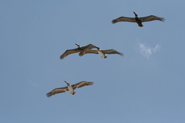 Low Angle View Of Pelicans Flying Against Cloudy Sky