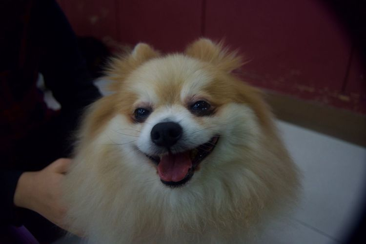 Animal Themes Animal Tongue Close-up Day Dog Domestic Animals Indoors  Looking At Camera Mammal One Animal One Person Pets Pomeranian Portrait
