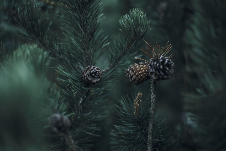 Pine Cone Growing On Tree