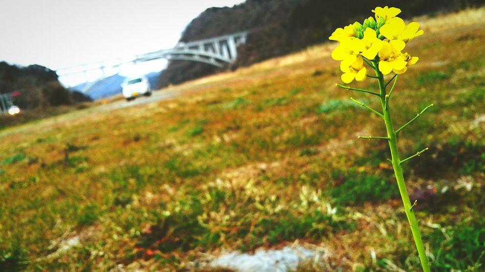 昨日の犬のお散歩の時、富士川の河川敷にて小さく1本だけ咲く菜の花を見つけました。最高気温21度くらい、春ですね。 菜の花 Spring