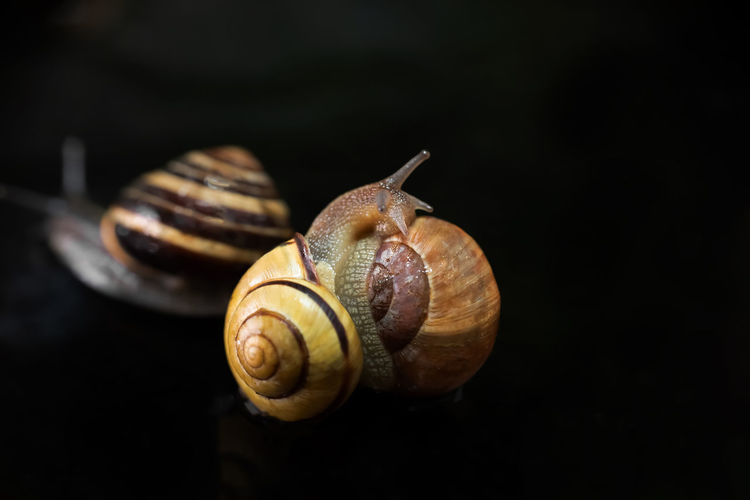 Close-up of snail against black background