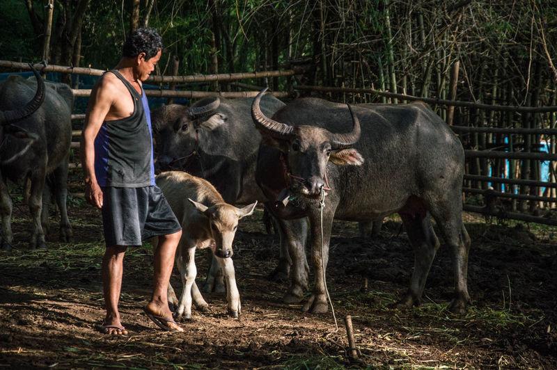 Man walking by cow and buffalo in farm