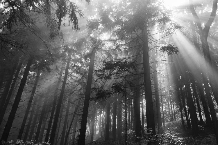 Forest after Rain, Harz in Germany Beauty In Nature Black And White Day Fog Forest Germany Growth Harz Harz Mountains, Germany Hazelnut Low Angle View Lower Saxony Nature No People Outdoors Rain Ravensberg Scenics Sun Sunlight Tranquility Tree Tree Area Tree Trunk WoodLand
