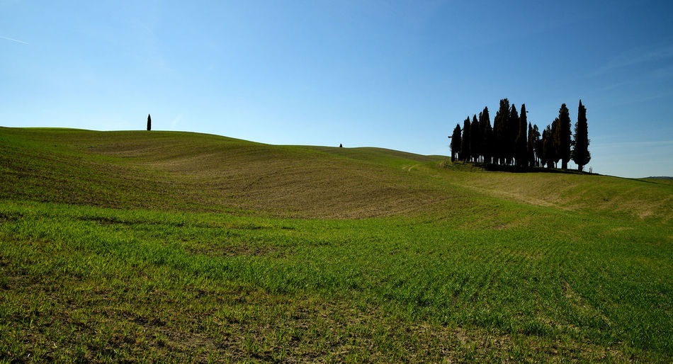 Famous group of cypresses near San Quirico d´Orcia, Tuscany, Italy. Cypress Cypress Tree Orcids Pienza Italy San Quirico D'Orcia Tuscan Tuscany Blue Blue Sky Day Field Grass Italy❤️ Land Landscape Nature Plant Scenics - Nature Sky Skyscraper Tranquil Scene Tranquility