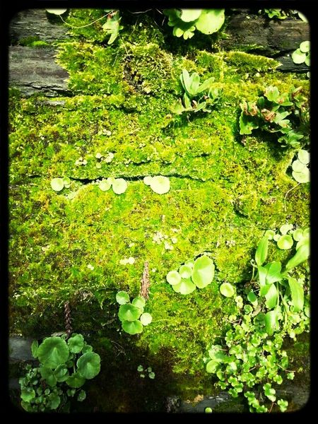 Wall Cornwall Moss