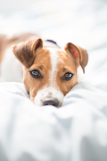 Close-up portrait of dog on bed