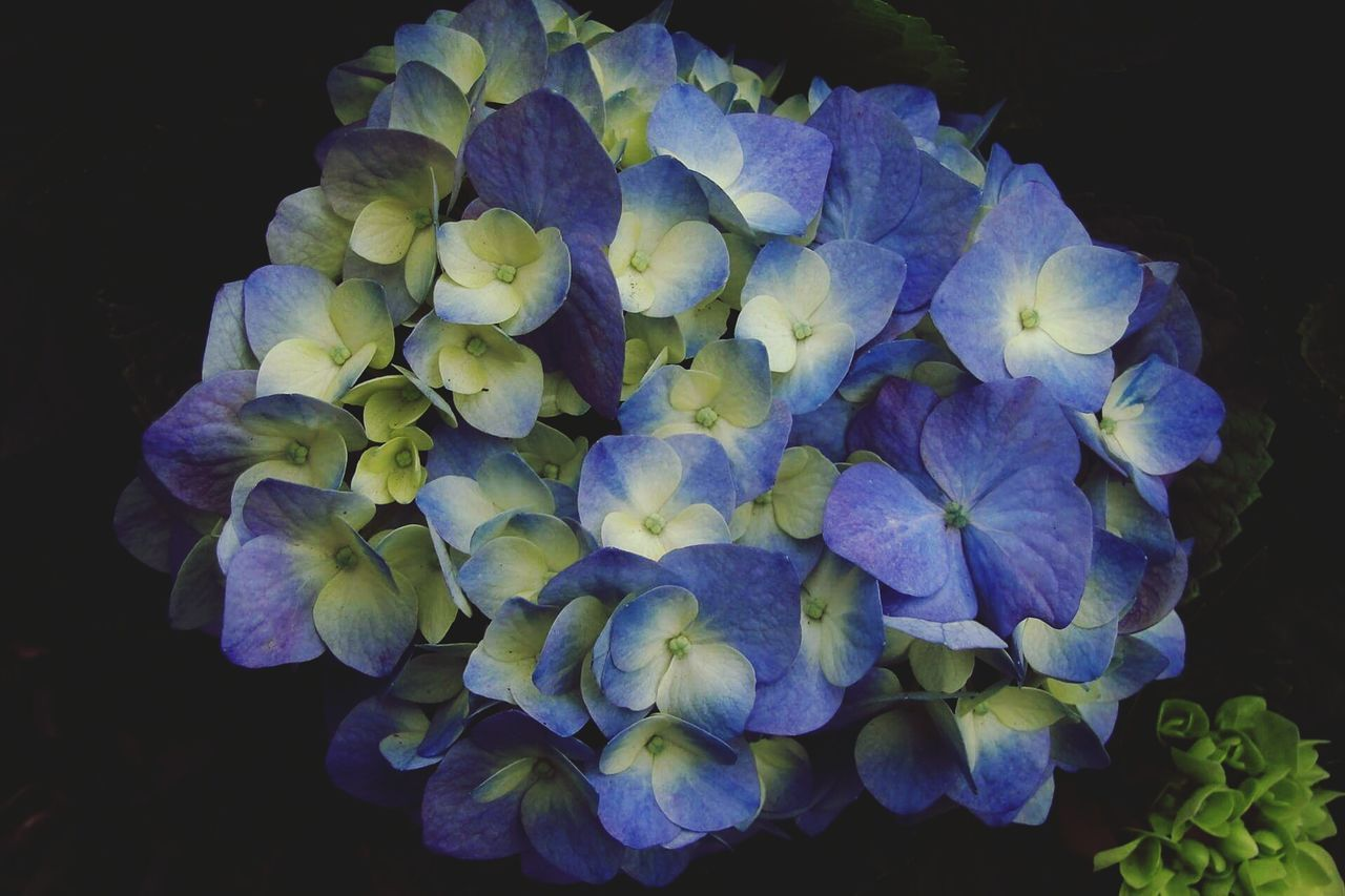 flower, petal, beauty in nature, fragility, flower head, growth, hydrangea, nature, freshness, plant, purple, blue, no people, close-up, blooming, black background, studio shot, springtime, day, outdoors