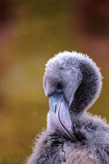 Grey juvenile young American flamingo, Phoenicopterus ruber, in the middle of a flock. American Flamingo Caribbean Flamingos Flamingo Phoenicopterus Ruber Animal Themes Animal Wildlife Animals In The Wild Avian Bird Close-up Day Grey Flamingo Juvenile Outdoors Wildbird Wildlife