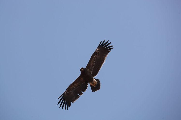 Eagle Animal Animal Wildlife Aquila Pomarina Bird Bird Of Prey Fly Bird Fly Lesser Spotted Eagle
