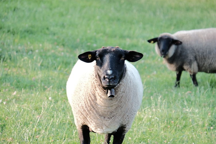 Portrait of sheep standing on grassy field