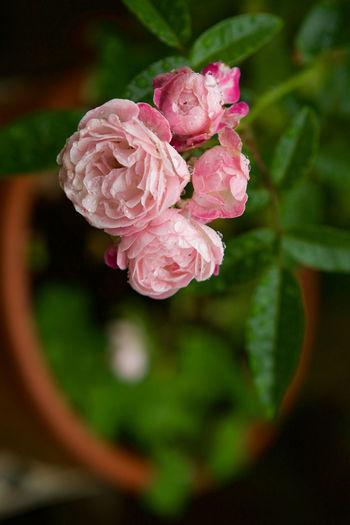 Margo's Sister Flowerporn Old Rose In My Garden Flowers In My Garden After Rain Polyantha 雨上がりのプリンセスマザー