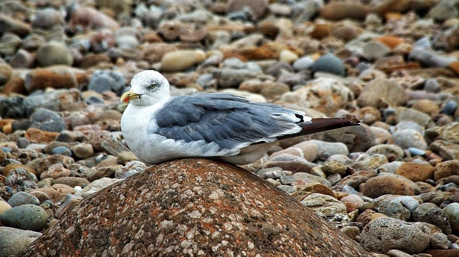 One egg too much big. Animal Animal Themes Animals In The Wild Beach Bird Cantabria Day Gull No People One Animal Playa De Gerra San Vicente De La Barquera Seagull SPAIN Trasvia Wildlife Yellow Legged Gull Zoology