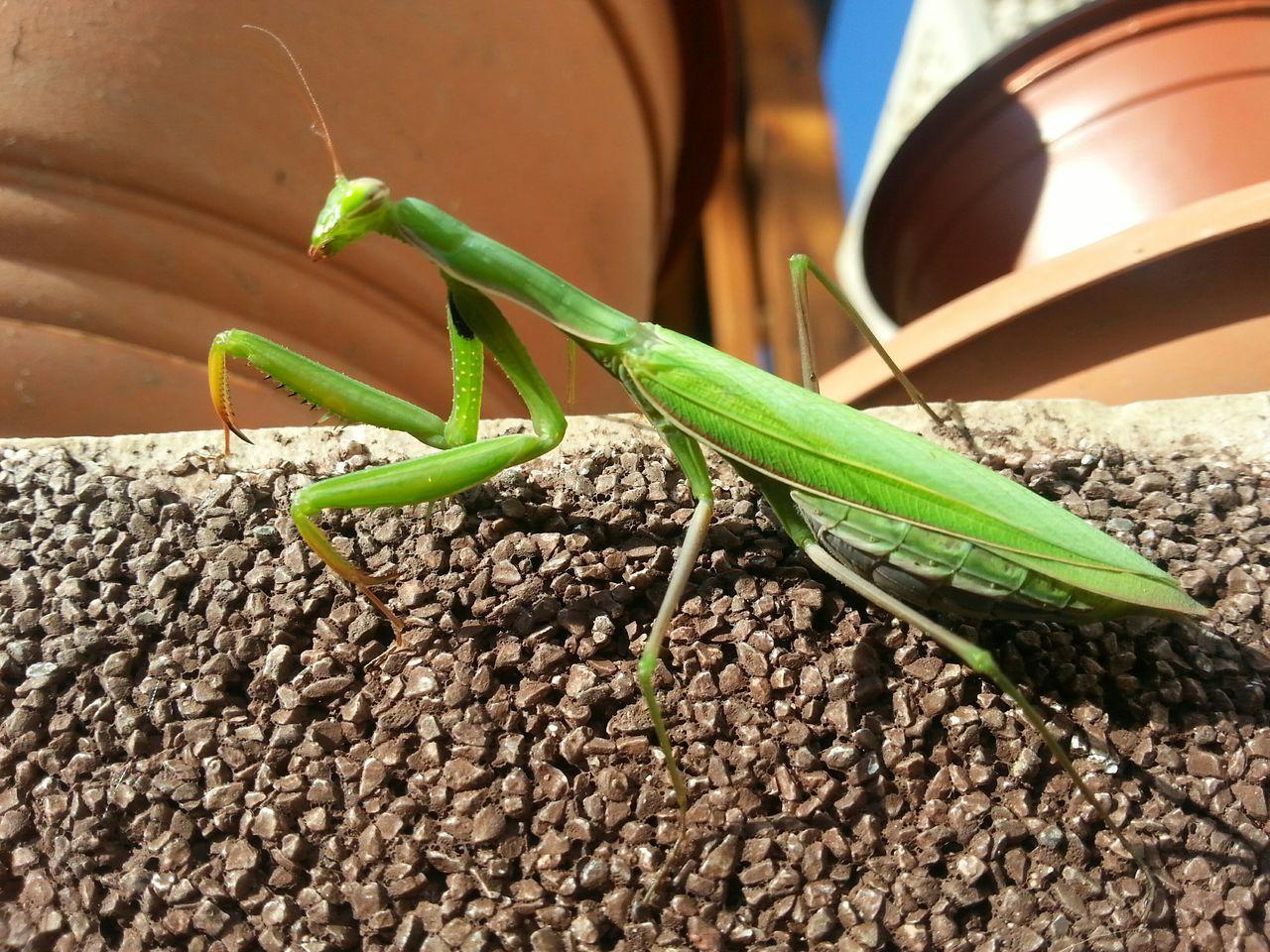 Close-Up Of Praying Mantis On Retaining Wall