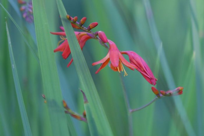 Copper tip says good evening :) Copper Tip Nature Flower Beauty In Nature Green Color No Edit/no Filter Crocosmia Atmospheric Mood Tranquil Scene Simple Quiet Love クロコスミアっていうみたいです🙌