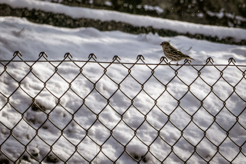 Animal Themes Animal Wildlife Animals In The Wild Bird Chainlink Fence Day Fence Nature No People One Animal Outdoors Perching Protection Safety