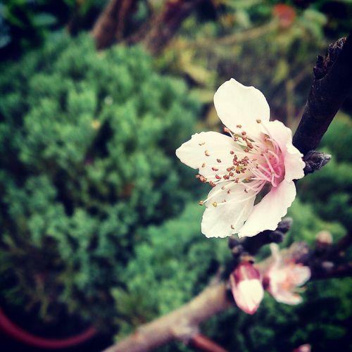 梅花般的熱帶水蜜桃。 Flowers Natural_collection EyeEm Nature Lover EyeEm Best Shots Fruit Honey_peach
