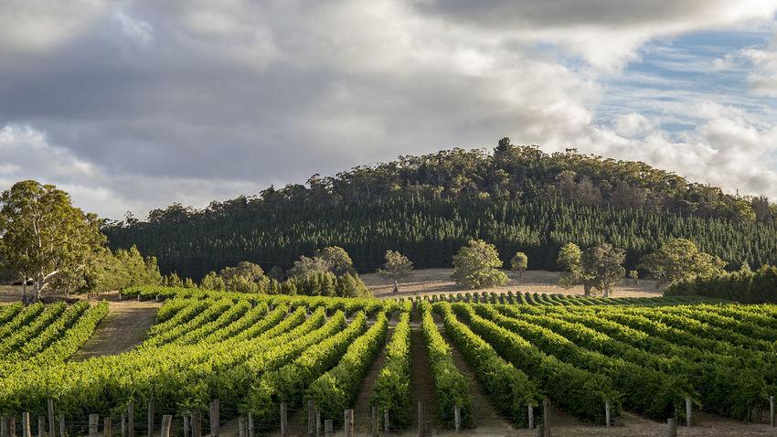 Barossa Valley Mount Crawford South Australia Vines Landscape Rural Scene Tranquil Scene Vineyard Wine Winemaking