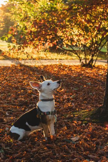 Animal Animal Themes Autumn Canine Change Day Dog Domestic Domestic Animals Jack Russell Terrier Land Leaf Leaves Looking Mammal Nature No People One Animal Outdoors Pets Plant Part Small Tree Vertebrate