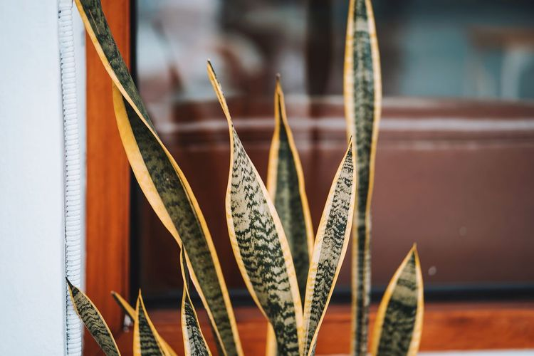 Sansevieria Sansevieria Plant Decoration Asparagaceae Mother-in-law's Tongue Snake Plant Close-up Growing Plant Life Young Plant