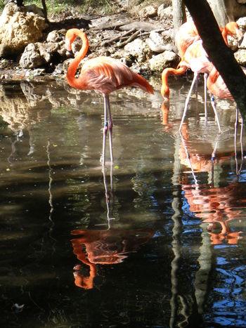 Flamingos Flamingo Water Sun Reflection Shining Birds