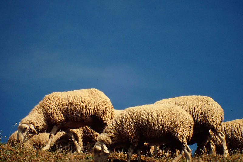 Animal Themes Animals In The Wild Arid Climate Beauty In Nature Flock Of Sheeps Full Length Nature No People Outdoors Portugal Sky