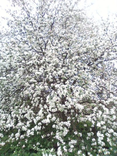 Low angle view of white flowering tree