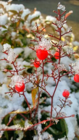 Green Color White Color Beauty In Nature Snow Ice Bushes Red Color Wild Fruit