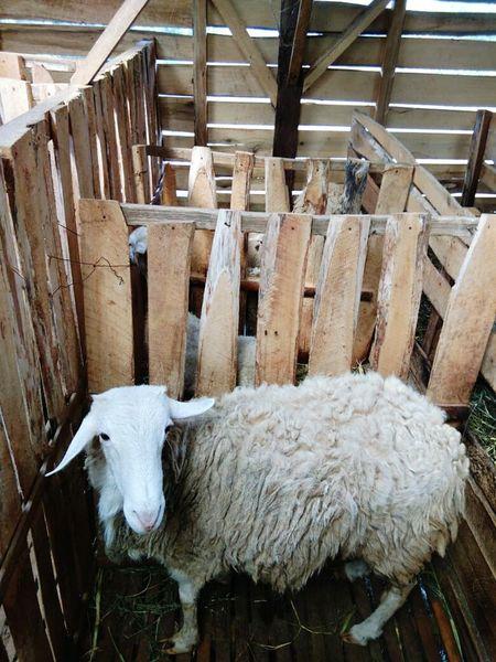 Livestock Farm Animal Dairy Farm