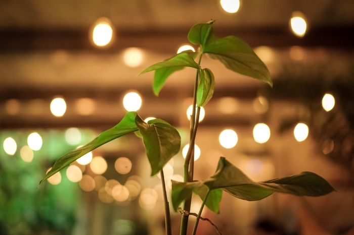 Bokeh. Leaf Plant Part Night Illuminated Plant Focus On Foreground Close-up No People Growth Decoration Lighting Equipment Nature Green Color Beauty In Nature Freshness Light - Natural Phenomenon