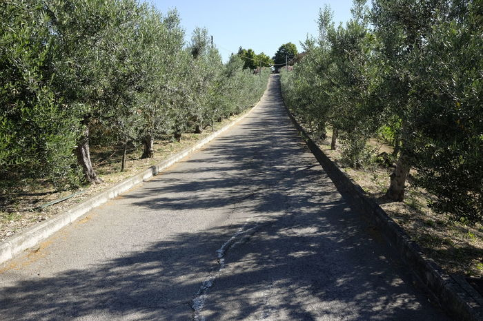 Tree-lined avenue of olive trees Beauty In Nature Day Growth Lined Nature No People Olive Trees Outdoors Shadow Sky Sunlight The Way Forward Tranquil Scene Tranquility Tree Treelined