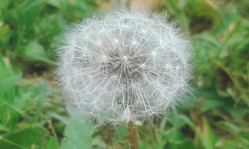 Composite Flower Composite Flower Head Natural Beauty Natural Beauty ♡ Nature_collection Nature Photography Nature Natura Flower Head Flower Springtime Uncultivated Softness Blossom In Bloom